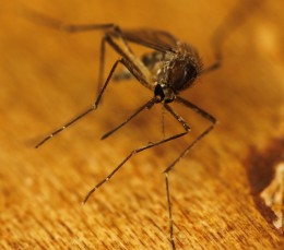 Deet is losing its effectiveness against mosquitoes, scientists say - Blue and Green Tomorrow