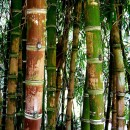 Bamboo forest by odonata98 via Flickr