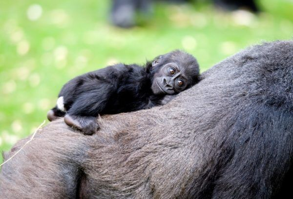 Gorilla baby - photo Courtesy of the Aspinal Foundation