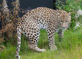 Leopard by Magnus Johansson via Flkir