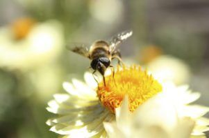 Bee by Colin J via Flickr