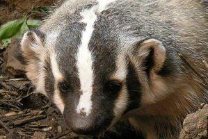 Badger by Ed Blerman via FLickr