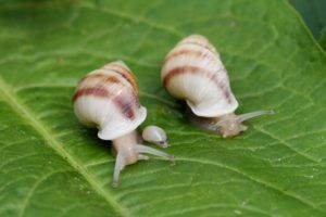 Partula Snails Reintroduced To Tahiti By RZSS