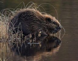 Dam Good Reading For Beaver Aficionados