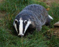 Badger - hehaden via Flickr