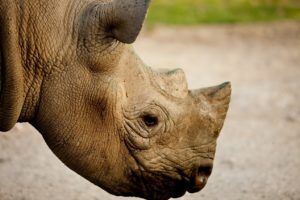 rhino-photo-courtesy-of-the-aspinal-foundation