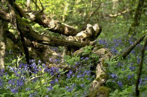 bluebell wood by stewart black via flickr