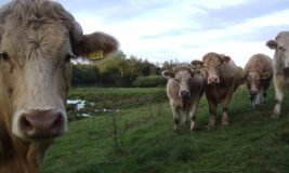 cows-by-ian-mannion-via-flickr