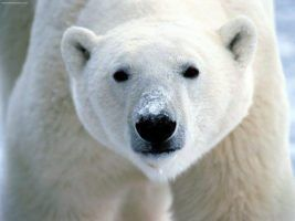 polar bear by flickrfavourites via Flickr