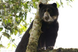 Campaign To Save 'Real Life' Paddington Bears In South America