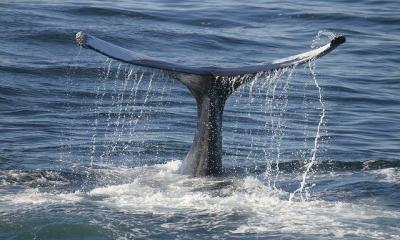 Action To Tackle Whale Suffering Endorsed By IWC