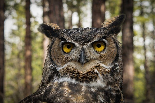Great Horned Owl by Jon Nelson via Flickr
