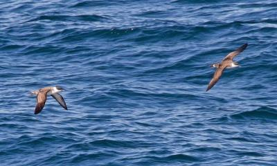 Seabirds by Tony Hisgett via flickr