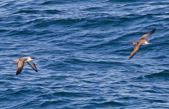 Seabirds by Tony Hisgett via flickr
