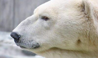 polar bear by artic wolf via flickr