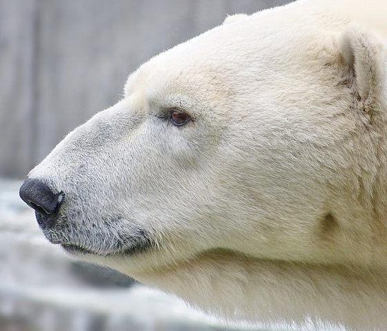 polar bear by artic wolf via flickr