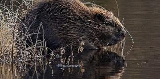 Return Of The Eurasian Beaver Welcomed By Trial Partners
