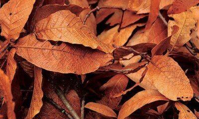 Brown leaves by jrsnchzhrs via flickr
