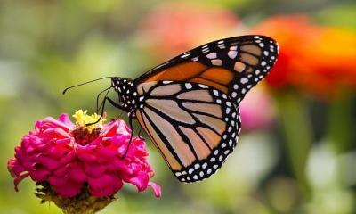 butterfly-by-conal-gallagher-via-flickr
