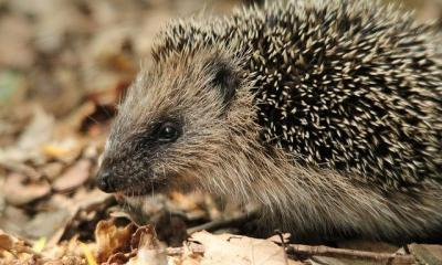 HEDGEHOG by mil bostock via flickr