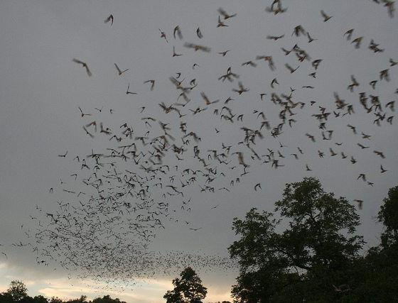 bats flying by U.S. Fish and Wildlife Service Headquarters via flickr