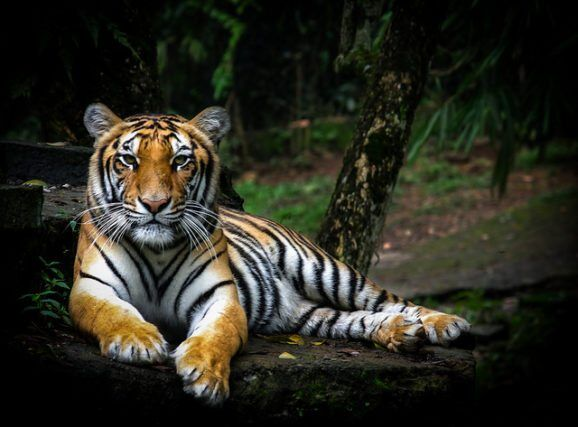 Short Prison Sentences & Small Fines May Not Stop Tiger Poachers