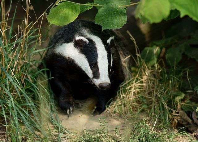 badger by peter trimming via flickr