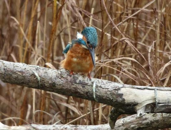 Mystery Images Of A Kingfisher In Montrose