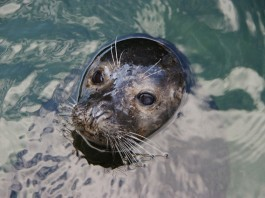 A Warming Arctic Is Putting Freshwater Seals At Risk
