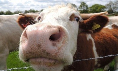 Cow, Tetworth, Cambridgeshire by Orangeaurochs via flickr