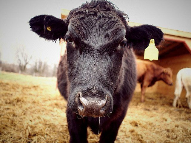 cow by Y'amal via flickr