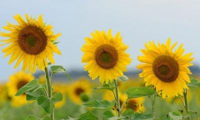 sunflower by Marcel Sigg via flickr