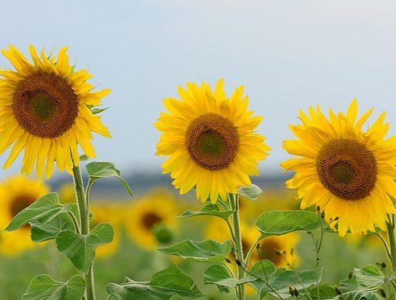 sunflower by Marcel Sigg via flickr