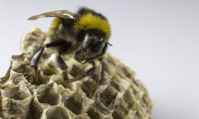 remove Bumblebees environmental risks