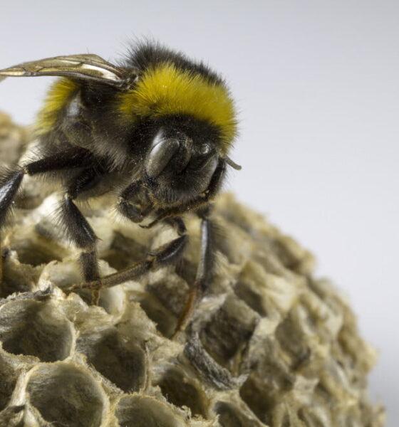 remove Bumblebees environmental risks