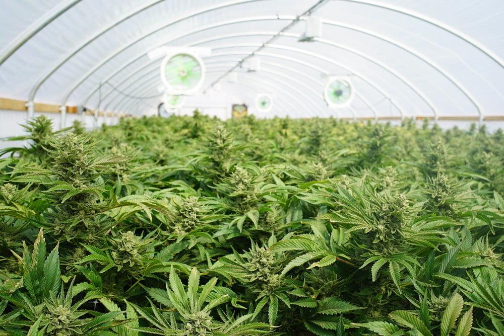 marijuana crop